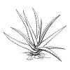 Use Aloe Vera to Treat Wounds