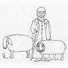 Bible Animals: Sheep